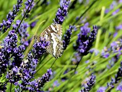 P1120870 (alainazer) Tags: valensole provence france fiori fleurs flowers fields champs papillon butterfly farfalla
