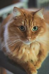 Jupiter (sundaygoldphotography) Tags: cat orange green eyes whiskers 50mm portrait pet animal wild