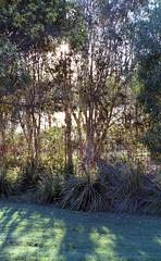 So Green (tomows) Tags: film c41 analog sandgatestreet sandgate sandgatelagoon trees pentaxspotmatic kodak kodakgold unicolorpowderc41kit epsonv550 35mm