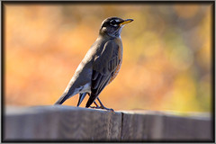 American Robin on Autumn Fence (Astral Will) Tags: bird robin perched americanrobin autumn fence bokeh stately hff happyfencefriday thrush