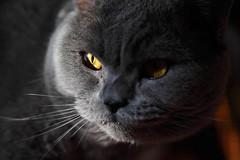 Antonio (Сonstantine) Tags: animals antonio cats canon catslife catsoftheworld catscatscats cat british britishcats meowmeow meow meowbox cute photo pic portrait