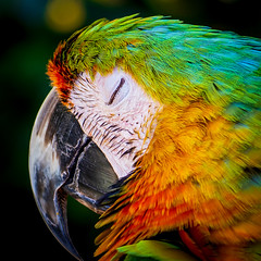 Napping Macaw (topendsteve) Tags: bird parrot jungle gardens feathers plumage color a7r4 24105