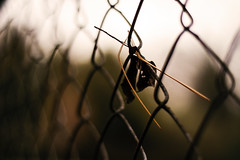 Caught ya... (Sarah Rausch) Tags: nikon 50mm 18 bokeh depth shallowdepthoffield fence fencefriday autumn fall hff pineneedle leaf chainlink chainlinkfence