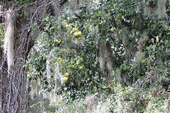 Grapefruit Tree (Citrus paradisi) (Gerald (Wayne) Prout) Tags: grapefruittree citrusparadisi plantae tracheophytes angiosperms eudicots rosids sapindales rutaceae citrus paradisi grapefruit tree marshgrapefruit fruit plant plants nature shadyoaktrail circlebbarreserve cityoflakeland polkcounty florida usa prout geraldwayneprout canon canoneos60d eos 60d digital dslr camera canonlensef70300mmf456isusm lens ef70300mmf456isusm photographed photography shady oak trail circleb bar reserve conservation preservation fruittree city lakeland polk county stateofflorida