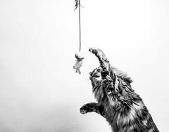 S'élancer. (LACPIXEL) Tags: amy amyff chat cat gato pet animal mascota elinchrom nikon nikonfr nikonfrance jouet juguete toy noiretblanc blancoynegro blackandwhite action flickr lacpixel
