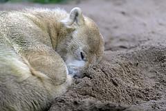Antonia (Michael Döring) Tags: gelsenkirchen bismarck zoomerlebniswelt zoo eisbär polarbear antonia afs200mm20gvrii d850 michaeldöring