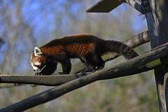 Roter Panda (Michael Döring) Tags: gelsenkirchen bismarck zoomerlebniswelt zoo roterpanda firefox afs200mm20gvrii d850 michaeldöring