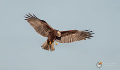 Marsh Harrier (Simon Stobart) Tags: marsh harrier circus aeruginosus flying hovering north east england uk