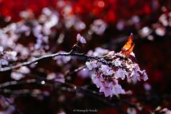 Winter's cherry blossoms / 冬桜 (Masayuki Nozaki) Tags: sakura cherryblossom autumn japan 桜 冬桜 紅葉