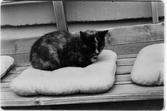 portrait of the baker's cat (sebastel23) Tags: rolleiretro80s exposedlikeiso64 rodinal150 13min