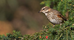 Redwing (KHR Images) Tags: redwing turdusiliacus winter migrant thrush wild bird sandy bedfordshire rspb wildlife nature nikon d500 kevinrobson khrimages