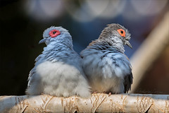 Relationship Impasse (Gabriel.Lascu) Tags: birds diamonddove geopeliacuneata couplerelationship relationshipissues upset disagreement communicationbreakdown frustrated lovehurts