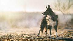 On a winter morning (alfie-p) Tags: pet workingsheepdog petphotography bordercollie petportrait dog