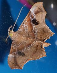 Teenas Trunk nose maple leaf moth Cultripalpa sp aff partita Calpinae Erebidae Noctuoidea Teenas rainforest Airlie Beach P1089793 (Steve & Alison1) Tags: teenas trunk nose maple leaf moth cultripalpa sp calpinae erebidae noctuoidea rainforest airlie beach
