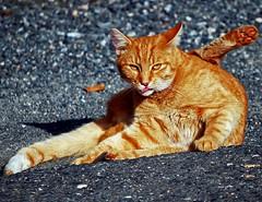 Yoga-Cat (anubishubi) Tags: pet animal cat katze haustier tier hauskatze nikond60 rotekatze