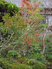Heavenly bamboo berries (Nandina domestica, ナンテン, 南天) (Greg Peterson in Japan) Tags: 滋賀県 shiga plants ritto 栗東市 紅葉 takano 植物 japan berriesandfruit foliage shigaprefecture
