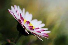 Daylight (Domikawa4) Tags: canon eos 80d tamron sp 90mm f28 di fleur flower pâquerette macro extérieur outdoor
