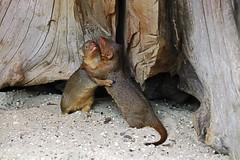 Zwergmanguste (Michael Döring) Tags: gelsenkirchen bismarck zoomerlebniswelt zoo zwergmanguste dwarfmongoose afs200500mm56e d850 michaeldöring