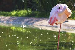 relaxing (@Katerina Log) Tags: relax bird attikazoopark feathers fe70200mmf4goss sonyilce9 katerinalog outdoor lake bokeh water beak wildlife wild beauty nature naturallight inexplore