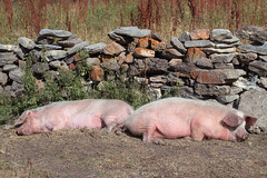 Enervated (Giorgi Natsvlishvili) Tags: pigs pork swine animals animal georgiacountry georgian georgien géorgie géorgien georgia eos eosm50 m50 mirrorless milvus milvus1450 canoneosm50 canonm50 canonmirrorless canon carlzeissdistagon carlzeissmilvus carlzeiss zeiss zeissmilvus sleepy