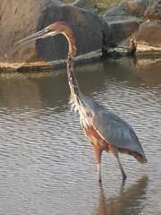 Goliath Heron /  Reusereier (Pixi2011) Tags: birds krugernationalpark southafrica africa wildbirds nature