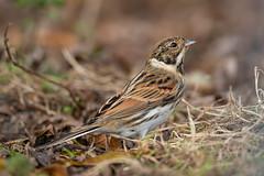 Reed Bunting (robin elliott photography) Tags: reedbunting reedbuntings bird birds nature wild outdoors outside autumn winter feathers nikon nikond850