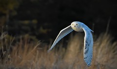 Snowy Flight (hd.niel) Tags: snowyowl owls wildlife winter snow photos nature photography kingstonontario nikon720080400 goldenhour 12000 iso3200