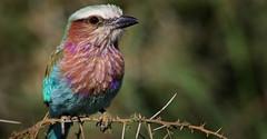 Birding in Kenya (southriftgalaxysafaris) Tags: bird tanzania wildlife