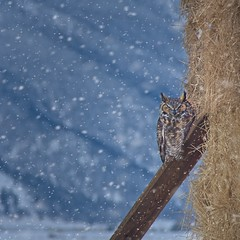 Owl in Winter 8055 B (jim.choate59) Tags: jchoate on1pics owl winter cold bakercityoregon bird haystack hay animal greathornedowl fli snow