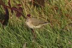 Siberian Chiffchaff - Winter visitor (Dougie Edmond) Tags: stevenston scotland unitedkingdom bird migrant nature wildlife