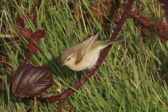 Siberian Chiffchaff - Winter visitor (Dougie Edmond) Tags: stevenston bird nature scotland unitedkingdom wildlife migrant