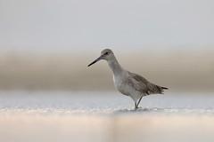 Willet (Greg Lavaty Photography) Tags: willet tringasemipalmata texas december bolivarflats shorebirdsanctuary galvestoncounty water beach birdphotography outdoors bird nature wildlife