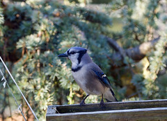 Waiting for Peanuts! (ineedathis, Everyday I get up, it's a great day!) Tags: bluejay cyanocittacristata portrait pose avian bird nature garden weepingatlascedar ornamentaltree autumn nikond750 evergreen birdfeeder trough βokeh