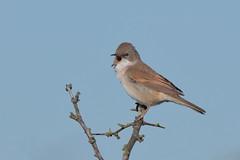 Whitethroat (Hammerchewer) Tags: whitethroat bird wildlife outdoor