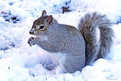 Eastern Gray Squirrel (Anne Ahearne) Tags: wild animal nature wildlife cute gray grey squirrel snow winter feeding closeup
