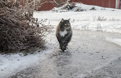 Cat on frozen ground during the winter (Tamara Lopes photographer) Tags: adorable animal cat cold cute domestic domesticanimals domesticcat feline frost frozen fur melt nature outdoor outdoors outside pet snow tabby tabbycat tomcat walk wild wildlife winter