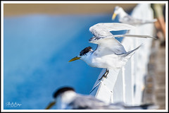 In the line of duty... :-) (alex6287) Tags: bird seagull nature wild