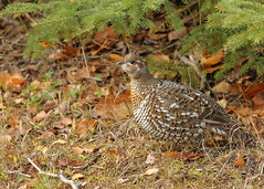 Ruffed Grouse...#18 (Guy Lichter Photography - 5.3M views Thank you) Tags: canon 5d3 canada manitoba wildlife animal animals bird birds grouse ruffedgrouse
