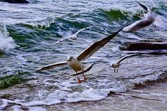 Beach life (prokhorov.victor) Tags: море берег пляж птица птицы чайки волны прибой природа