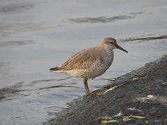 Knot (davidhampton1066) Tags: bird animal nature nikon nikonp900 nikkor oxfordshire oxon oxford farmoor wader knot