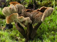 Auriscalpium umbella (New Zealand Wild) Tags: aotearoa newzealand newzealandwild nature newzealandnature wild wilderness forest fungi fungus spines auriscalpiumumbella mushroom macro stevereekie photography rapahoe westcoast newzealandgeographic