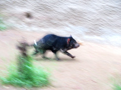 Tasmanian Devil (Vicki LW) Tags: zoo tasmaniandevil carnivorous marsupial 942019 94119 speedyspeeding