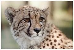 Cheetah Portrait - 01 (FidoPhoto (John McKeen)) Tags: cheetah cheetahs bigcat feline wildanimal africanwildlife africa southafrica animalportrait animalportraiture johannesburg endangered endangeredspecies wildlife
