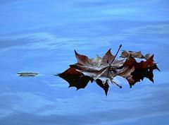 Autumn's End - Leaf On Lake (STL Missouri) Tags: lake water nature old leaf seasons