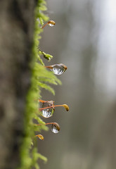 Gouttes ... (sosivov) Tags: sweden macro moss drops droplets