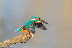 Kingfisher (Linda Martin Photography) Tags: kingfisher wildlife nature bird northbourne riverstour dorset uk alcedoatthis naturethroughthelens coth coth5 ngc alittlebeauty npc specanimal
