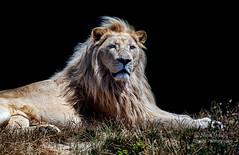 Circle Of Life (Nigel Jones QGPP) Tags: lion whitelion sanctuary bigcat wildlifeheritagefoundation