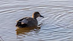 9Q6A4343 (2) - Gadwall (Alinbidford) Tags: alancurtis gadwall nature uptonwarren wildbirds wildlife