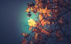 Winter leaves series - 9 (Dhina A) Tags: sony a7rii ilce7rm2 a7r2 a7r tamron sp 350mm f56 tamronsp350mmf56 prime ad2 adaptall2 mirrorlens 06b catadioptric reflex cf tele macro manualfocus bokeh lens