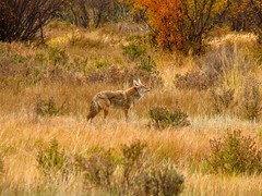 Coyote in Rocky Mountain National Park. (great_and_small.photography) Tags: unlimitedphotos coyote wildlife wildlifephotographer wildlifephotography nature naturephotography coloradowildlife colorado rmnp rockymountainnationalpark nationalpark animal animalsofflickr